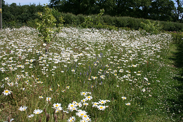 Meadow created with wildflower seed Garden Designer