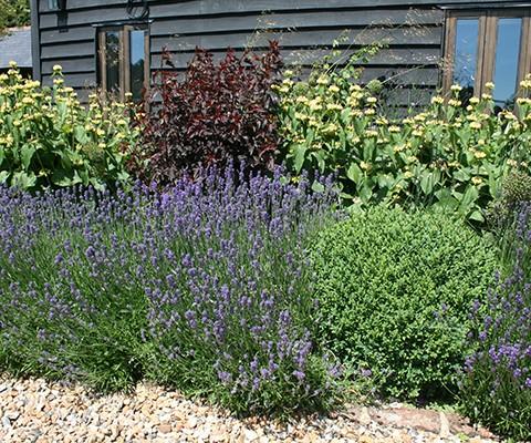 buxus balls, lavender hidcote