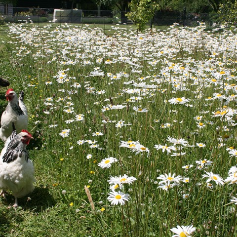 chickens enjoying a wildflower meadow