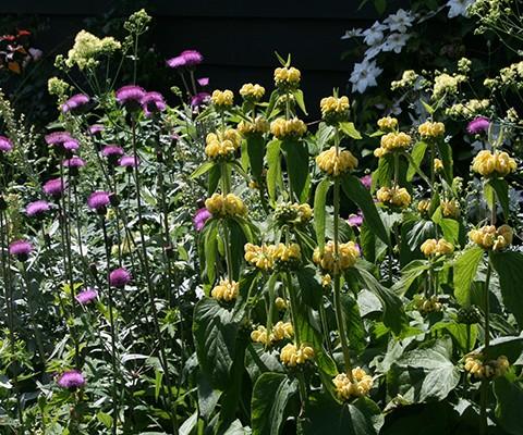 english garden perennial