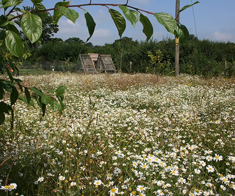 english garden, wildflower meadow seed mix