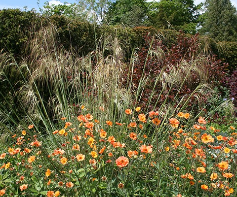 grasses and herbaceous perennial geum totally tangerine