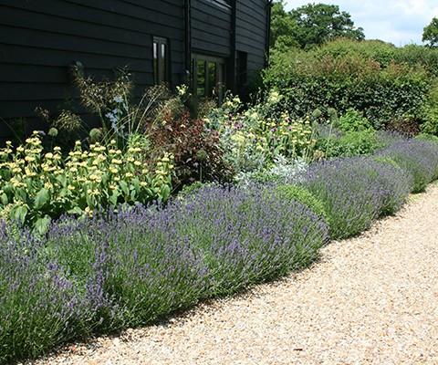 lavender hidcote, small garden design