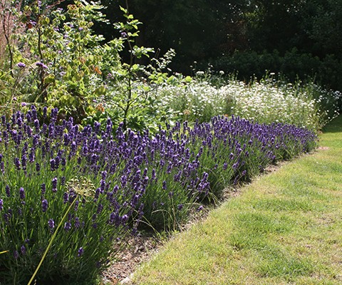 lavender hidcote with wildflower meadow in background