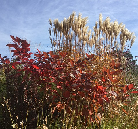 red shrubs and miscanthus grass in autumn colour