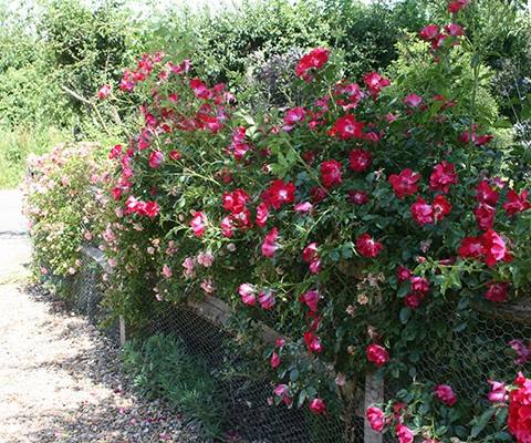 rosa rugosa, dog rose, rose bushes