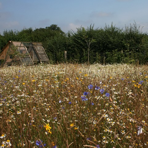 wildflower seeds, wildflower meadow