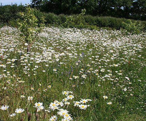garden design sussex, wildflower seeded meadow