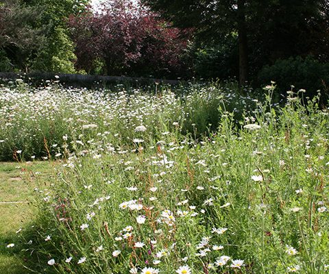 wildflower meadow mixed turf with extensive oxeye daisies