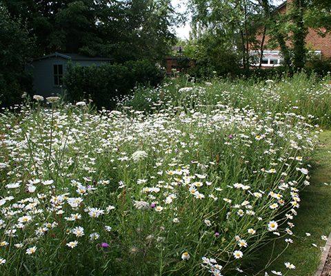 wildflower meadow turf, wildflowers